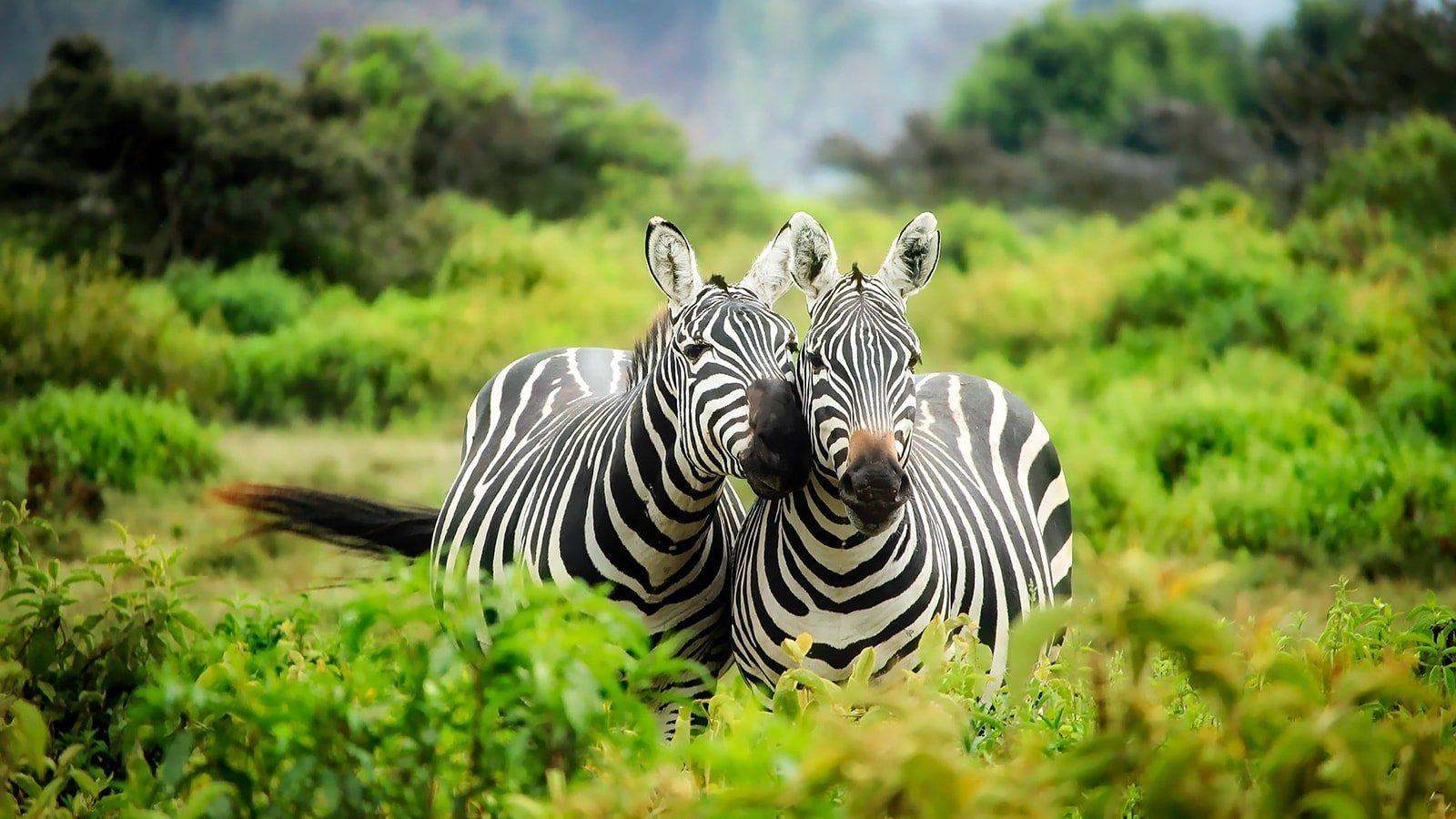 Chic Effect- Zebra Print Accents in 10 Sensational Living ...