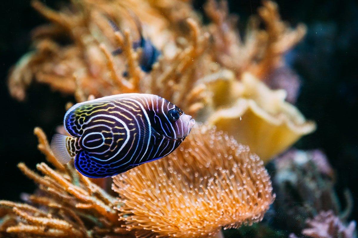 Blue angelfish in home aquarium