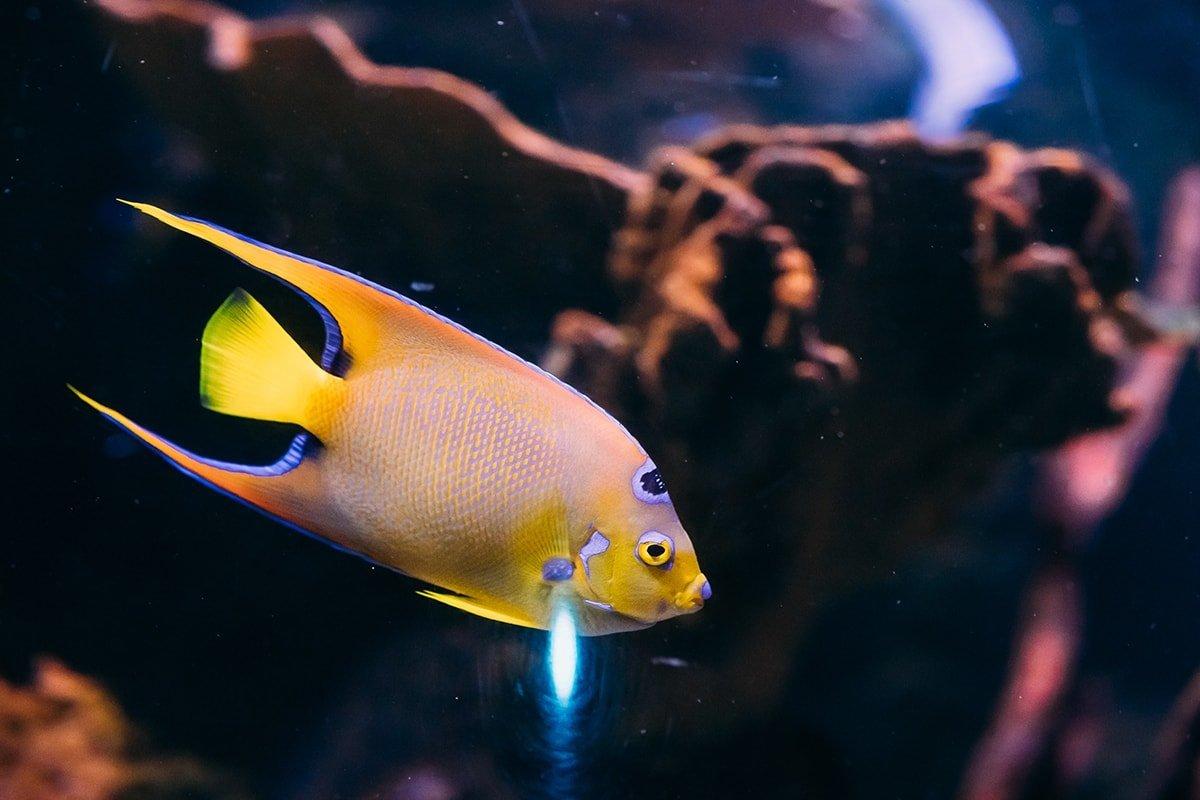 Yellow Queen Angelfish