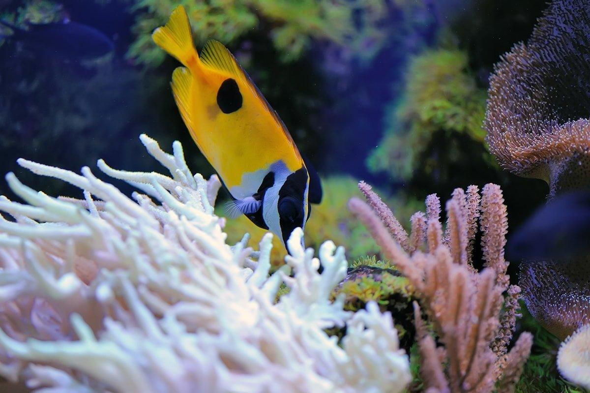 Yellow salt water fish in aquarium