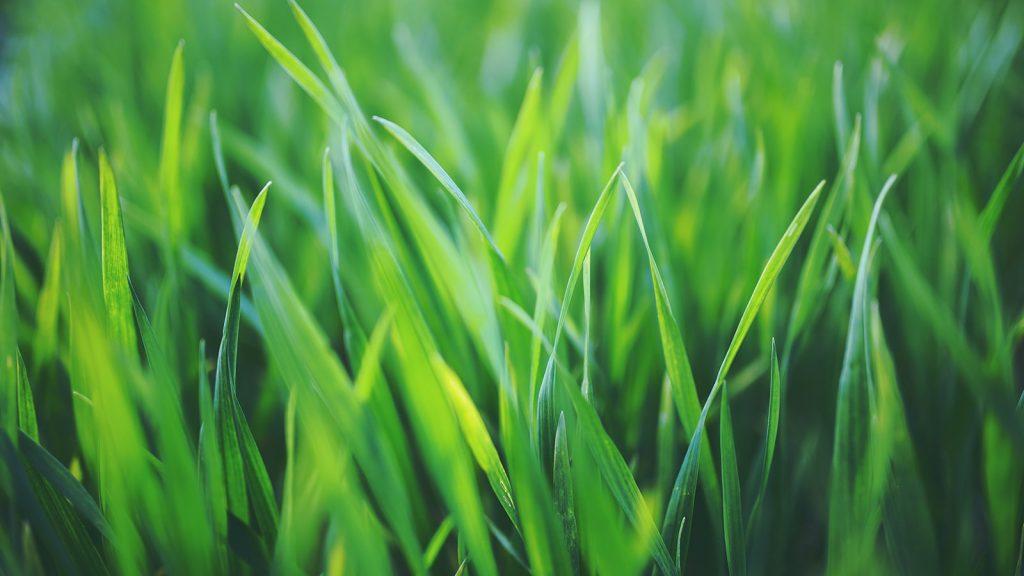 Grass close up view