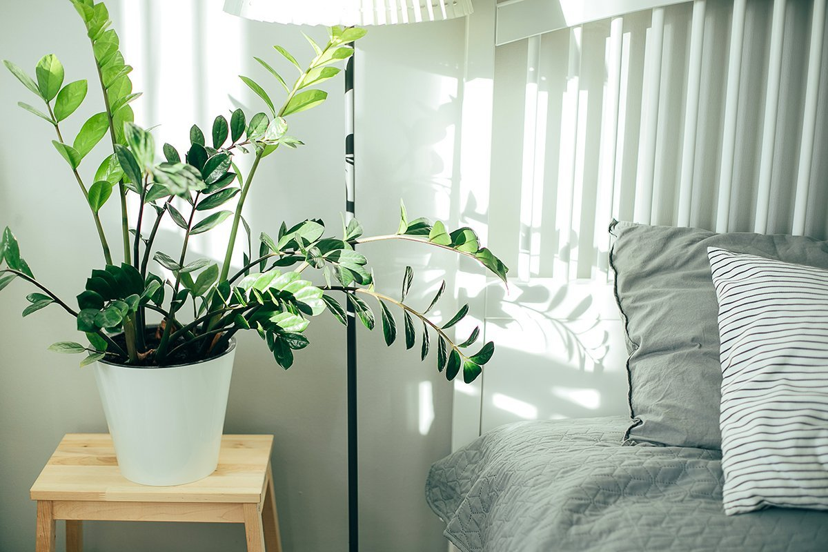 Scandinavian interior in gray and white colors. House plant green ficus in white pot and bed with gray pillow and bedspread